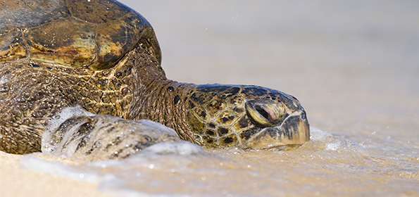 SPAWNING OF THE GREEN TURTLE: AN EXTRAORDINARY EVENT OF NATURE