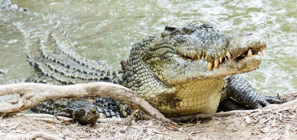 DO A TOUR THROUGH THE TORTUGUERO CANALS AND TAKE A LOOK AT ITS MOST POWERFUL RESIDENT: THE CROCODILE
