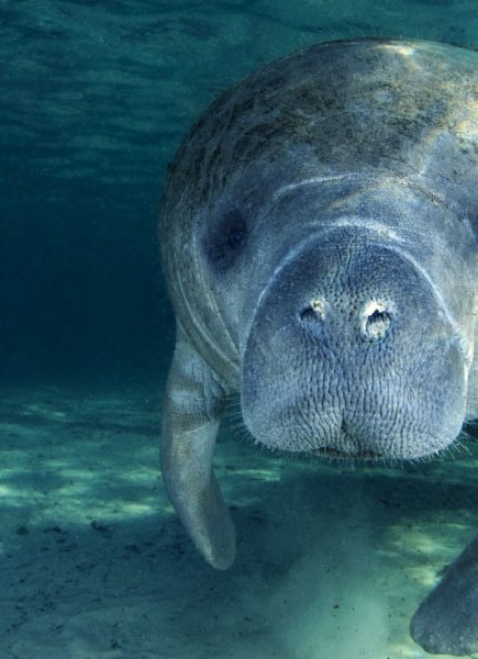 "The Costa Rican Manatees; Tortugueros ""Ladies of the Sea""."
