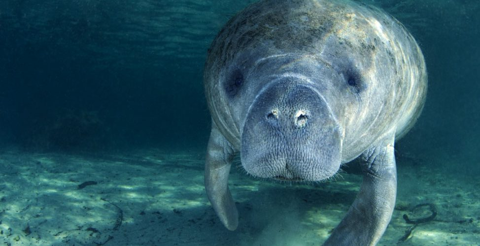 the-manatees-ladies-of-the-sea-of-tortuguero