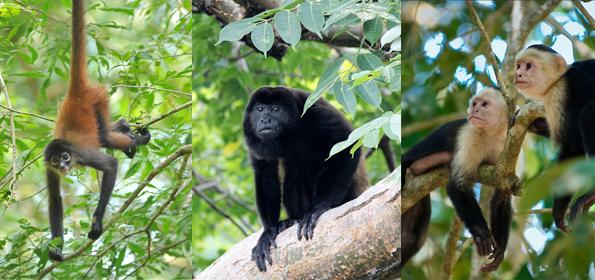 VACATIONS IN COSTA RICA: DISCOVERING THE MONKEYS OF TORTUGUERO