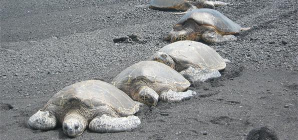 ECOTOURISM IN TORTUGUERO, COSTA RICA: LIVE CLOSELY THE NESTING AND SPAWNING OF TURTLES