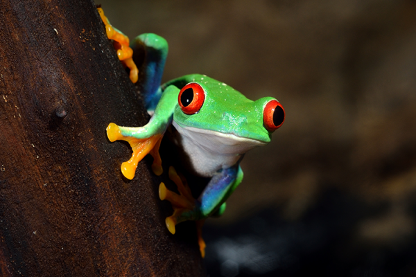 Do you know the famous Red Eyed Frog? At Tortuguero it is part of the landscape!