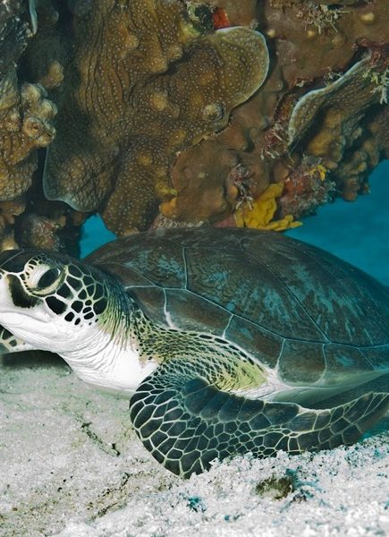 THE PROTECTION OF THE GREEN TURTLE IN TORTUGUERO