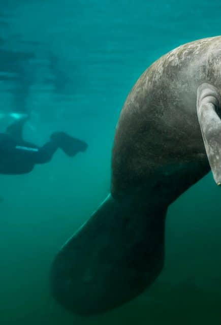 The manatee, a mermaid in danger
