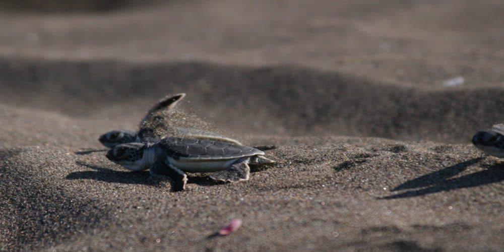 When-is-turtle-nesting-season-Tortuguero-starts now
