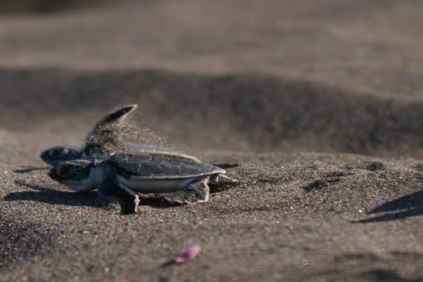 (English) When is turtle nesting season in Tortuguero? It starts now!